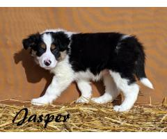 Example Ad Male Tri-Color Border Collie